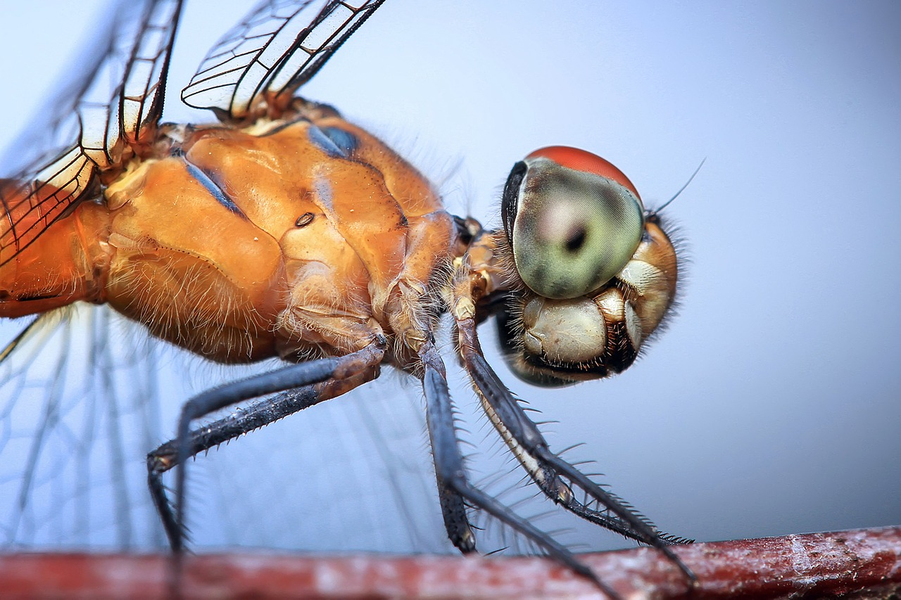 dragonfly, insect, odonata